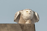 Snowy Owl Immature Male