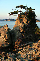 Japanese Pine Tree, Shonan Coast