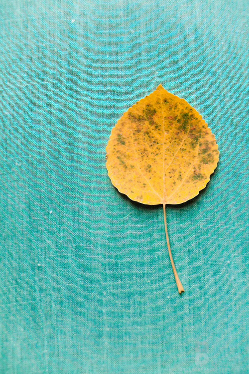 Single leaf on blue sheet creates uniques details and complimentary colors.