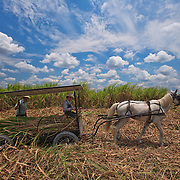 Mennonite father and son loading sugar cane on horse drawn cart.