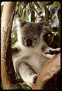 03: KOALAS ORPHANED YOUNG