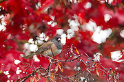 A male Oregon junco (Junco hyemalis simillimus) rests on a maple tree that's displaying its red fall color. Oregon juncos, a type of dark-eyed juncos, are a unique type of sparrow that nests on or near the ground.