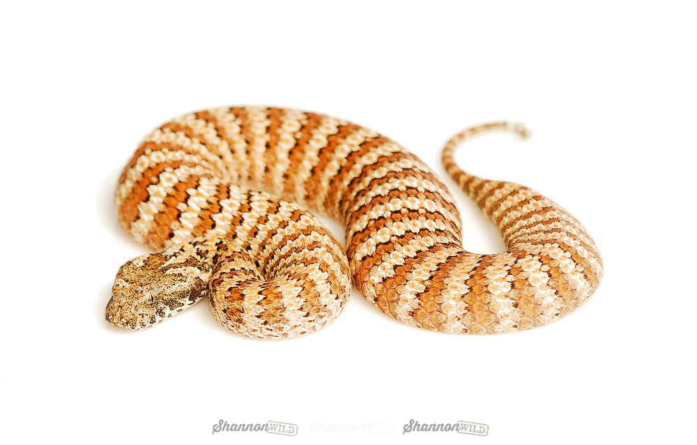 Common Death Adder (Acanthophis antarcticus) Dajarra locality.  One of the most venomous land snakes in Australia.
