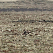An arctic fox (Vulpes lagopus) in transition from its winter to summer coat walks across on old lava field on Iceland's Snæfellsnes peninsula. Arctic foxes have limbs, snouts and ears that are shorter than average, a feature that minimizes heat loss and the risk of frostbite. The pads of their feet are also covered in fur. Arctic foxes are primarily nocturnal; this fox was photographed shortly after midnight.