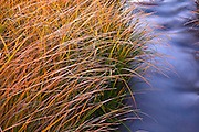 Wild grasses along the Rio Grande river near Pilar, New Mexico.