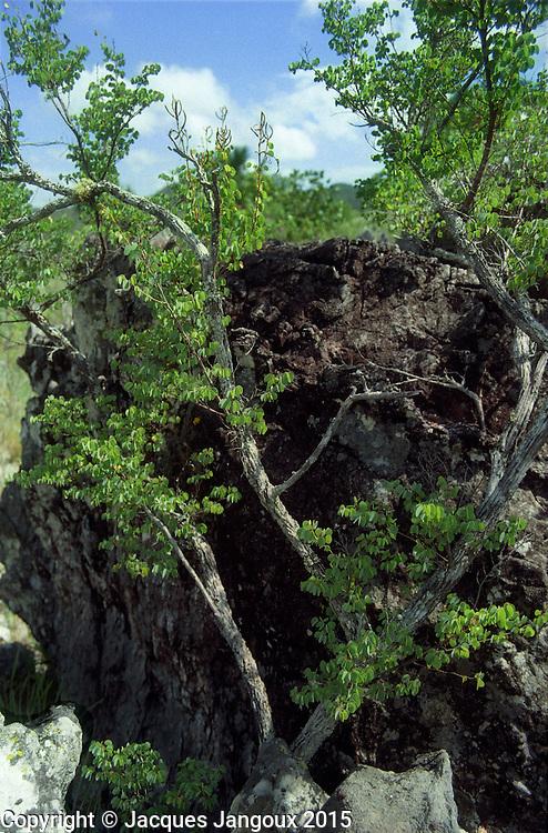 Bauhinia tenella, endemic of saxicolous vegetation (vegetation growing among rocks - campos rupestres) in  savanna (cerrado) biome, Brazilian  Highlands, Goiás State, Brazil