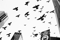 Birds, Times Square, NYC
