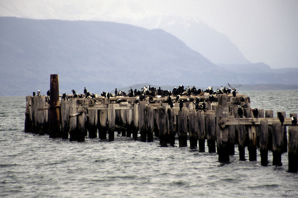 South America, Chile, Puerto Natales. Cormorants and gulls on wood pylons of pier in Puerto Natales.