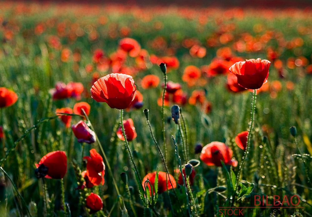 corn poppy, corn rose, field poppy, Flanders poppy, or red poppy (Papaver rhoeas).<br /> Ayegui ,Navarre, Spain, Europe.