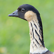 A nene (Nesochen sandvicensis) rests in the Kilauea Point National Wildlife Refuge in Kauai, Hawaii. The nene is the state bird of Hawaii and may have decended from the Canada goose. The nene is endangered with only about 500 living in the Hawaiian Islands; it is found nowhere else.