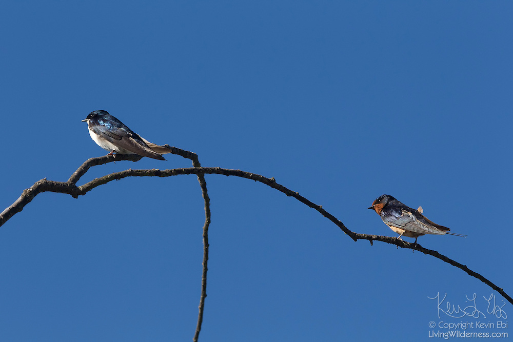 Two types of swallows share a perch in the wetlands of the Washington Park Arboretum in Seattle, Washington. At left is a tree swallow (Tachycineta bicolor); a female barn swallow (Hirundo rustica) is on the right.
