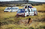 Tourists in minibus watching lion, Panthera leo, Masai Mara National Rserve, Kenya