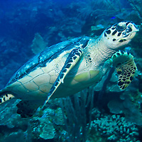 A Hawksbill turtle makes his way along the edge of the reef near Roatan, Honduras.