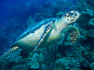 A Hawksbill turtle makes his way along the edge of the reef near Roatan, Honduras.
