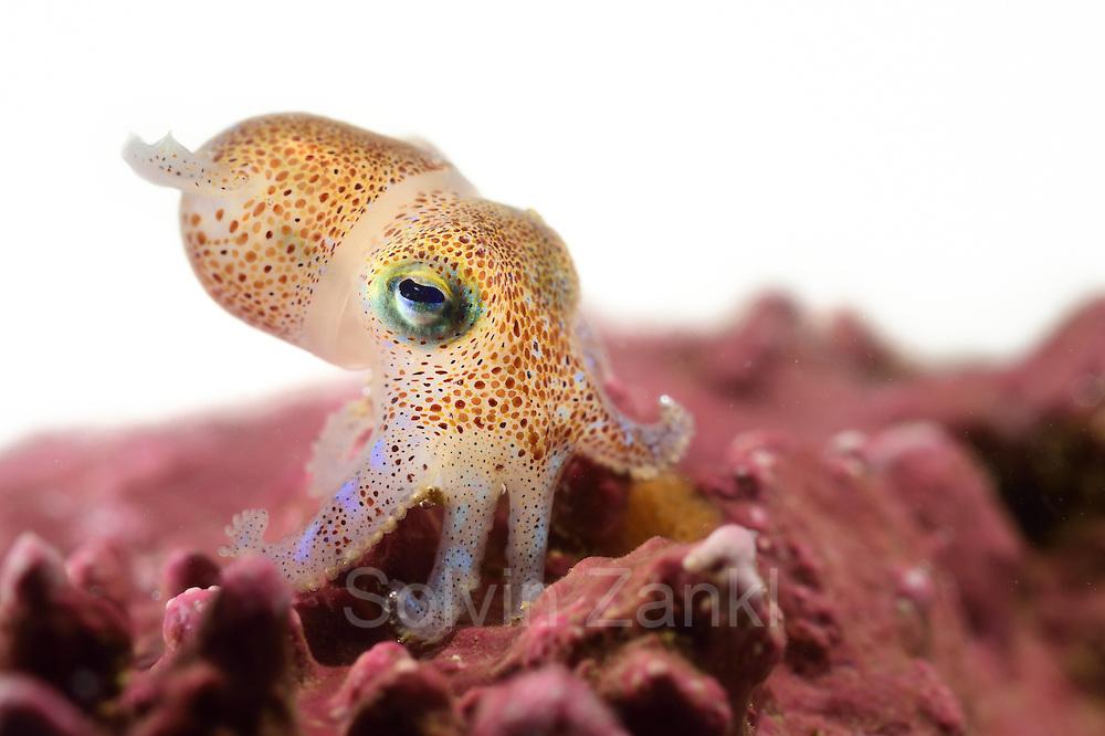 Zwergtintenfisch (Rossia macrosoma) auf einer Rotalge (Lithothamnion glaciale). Für den kleinen Tintenfisch bilden die verzweigte Oberfläche und die vielen Hohlräume der Rotalgenbank optimale Lebensbedingungen. Nordatlantik / Arktischen Ozean, Spitzbergen, Norwegen. | Bobtail Squid (Rossia macrosoma) with red algae. The rugged surface of red algae beds with many cavities offers perfect living conditions for the tiny bobtail squid. North Atlantic / Arctic Ocean, Spitsbergen, Norway.