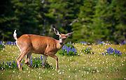 Black-tailed deer, Hurricane Ridge, Olympic National Park, Washington.