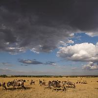 Africa, Kenya, Masai Mara Game Reserve, Wildebeest (Connochaetes taurinus) herd walking across savanna during Serengeti migration