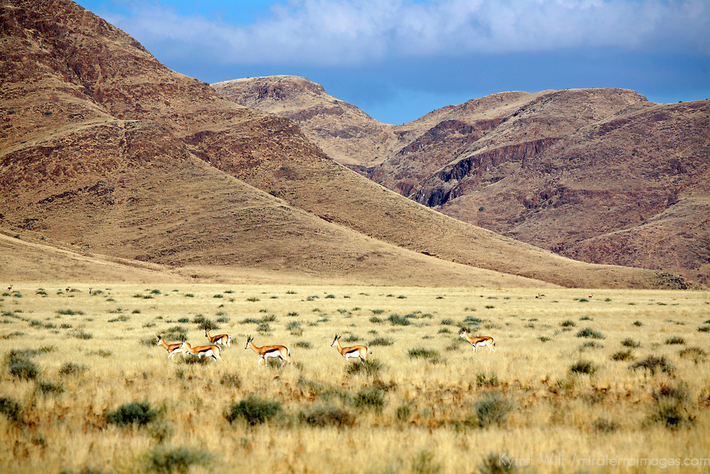 Africa, Namibia, Sossussvlei. A herd of Springbok in the scenic NamibRand Nature Reserve.