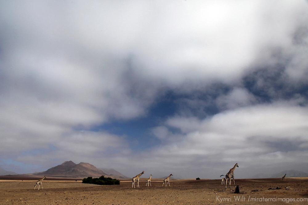 Africa, Namibia, Kaokoland. Giraffes of Kaokoland.