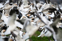 Panicked flock of Snow Goose (Chen caerulescens)  caused by a bald eagle flying overhead at Fir Island, Skagit River delta, Puget Sound, Washington, USA