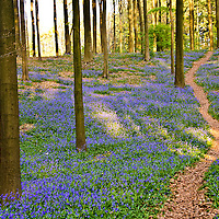 Hallerbos, Belgium's Blue Forest Stock Photos