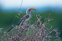 Southern Yellow-billed Hornbill (Tockus leucomelas) perched on top of a thorn bush.  Kruger National Park, South Africa.