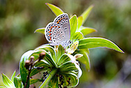 An Endangered Female Karner Blue Butterfly, Waushara County, Wisconsin. A look a scenes from Waushara County, Wisconsin.
