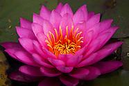 LA Spring Lotus Bloom 2014