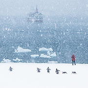 """On an Antarctic island, a visitor watches Gentoo penguins walk to the ocean to retrieve food for chicks. In 2005, the M/S Explorer cruise ship took us to this remote wilderness. Published in """"Light Travel: Photography on the Go"""" by Tom Dempsey 2009, 2010."""