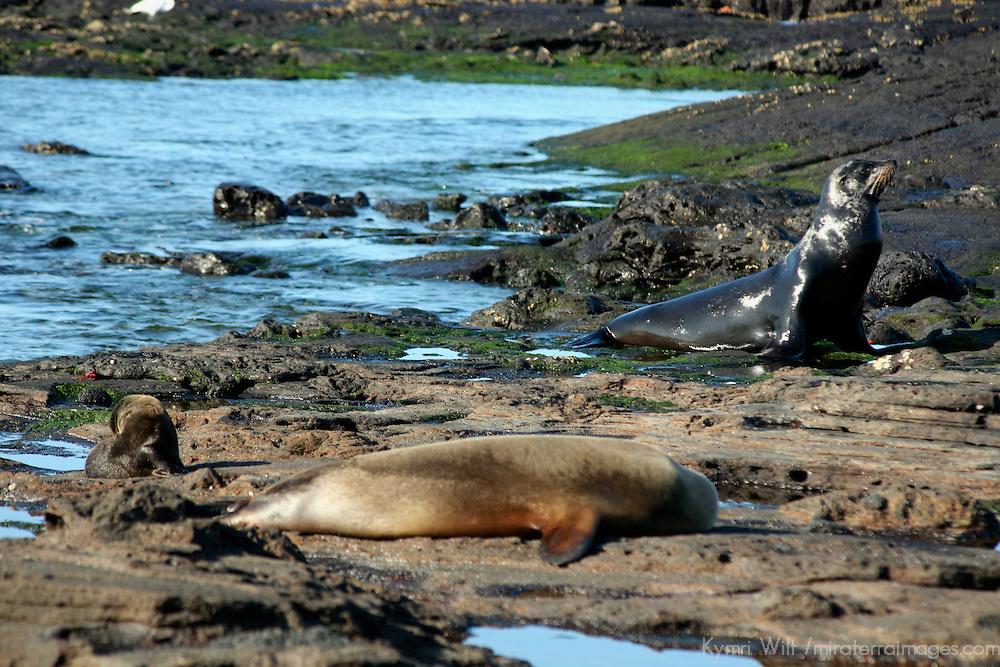 South America, Ecuador, Galapagos Islands, Santiago Island, James Island, Port Egas. A family of Sea Lions on the shore of Santiago island.