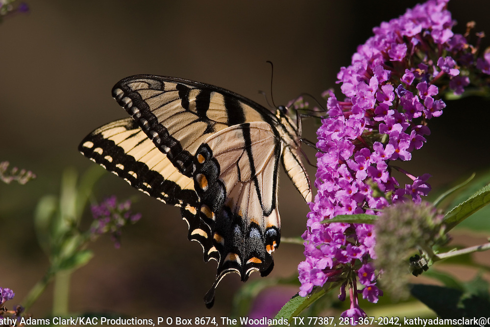 Tiger swallowtail butterfly (Papilio glaucus) on buddleia or butterfly bush.