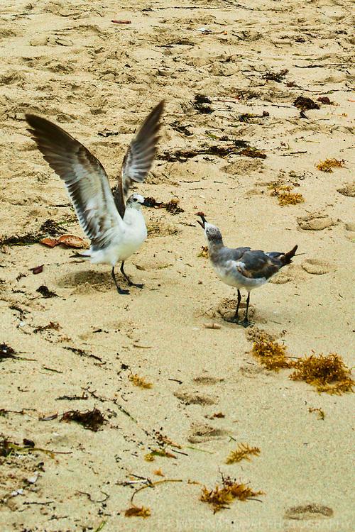Seagull Squabble @ South Beach