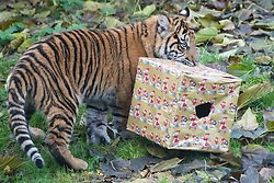 ZSL London Zoo, London, December 15th 2016. Christmas comes ten days early for the Sumatran tiger cubs at at ZSL London Zoo. Mother Melati and her two cubs Achilles and Karis wake up to Christmas presents in their enclosure and the two unruly six-month-old cubs set about opening them. PICTURED: Achilles takes one of the presents.