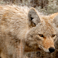 A Coyote hunts in Spring Storm. Lamar Valley, Yellowstone National Park, WY, April 2008