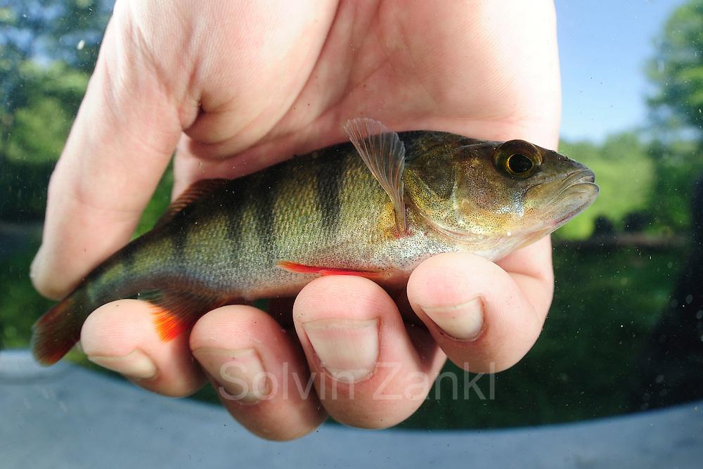 Jan Hallermann, Fischereibiologe am IGB hält einen Barsch (Perca fluviatilis) in der Hand. Das Tier wurde von den Fischereibiologen in der Löcknitz bei Klein Wall gefangen.