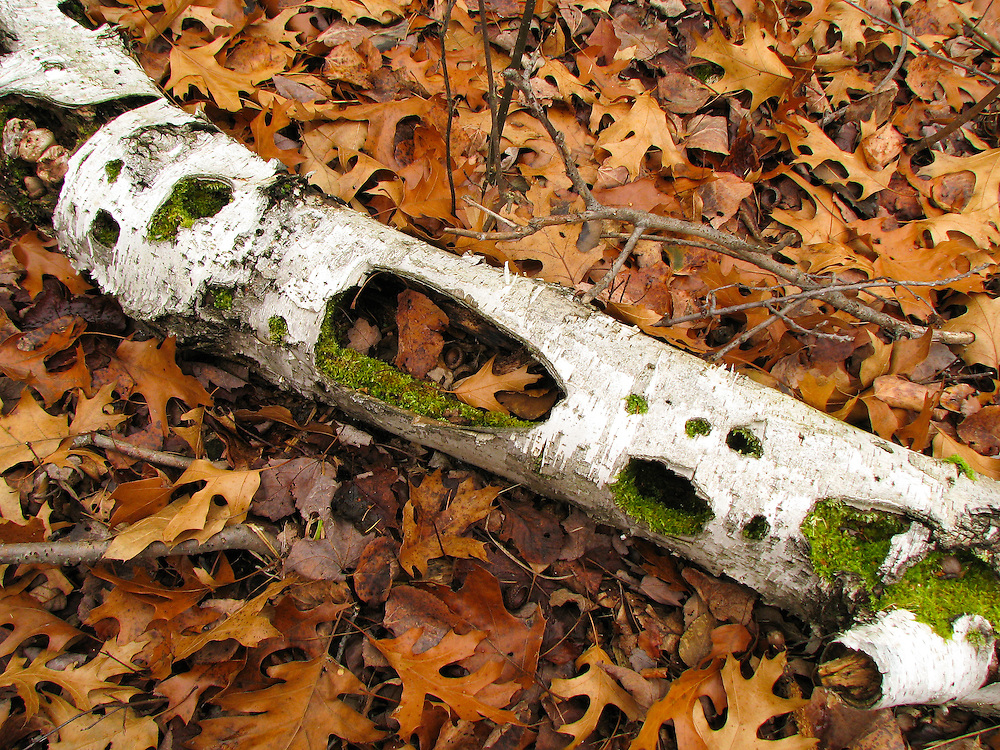 Decaying Birch branch, woodland floor