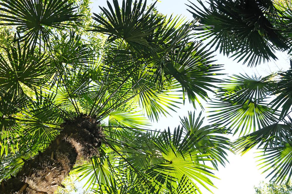 France, Languedoc Roussillon, Gard, Cevennes, Anduze, Prafrance, La Bambouseraie, arbre, Trachycarpus fortunei