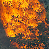 "A tree erupts into flame in the Waldo Canyon fire west of Colorado Springs, Colorado June 26, 2012.  A fast-growing wildfire in Colorado forced 11,000 people from their homes at least briefly and threatened popular summer camping grounds beneath Pikes Peak, whose vistas helped inspire the patriotic tune ""America the Beautiful.""    REUTERS/Rick Wilking (UNITED STATES)"