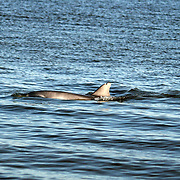 A hunting, bottle nose dolphin in the surf off a Jekyll Island beach