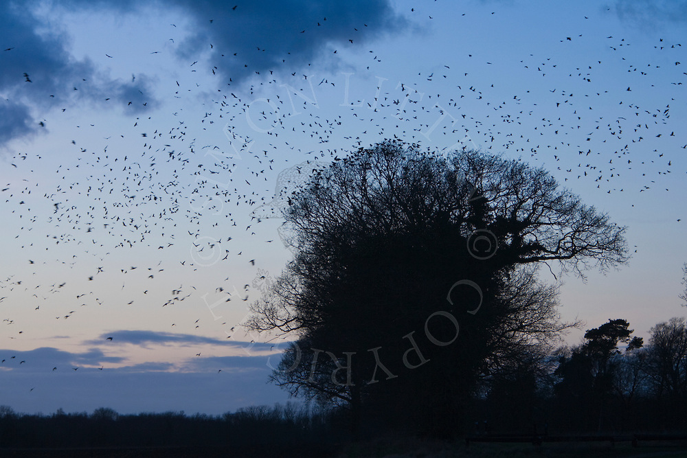 Rooks (Corvus Frugilegus) flock returning to roost, winter dusk, rockery at Buckenham, Norfolk