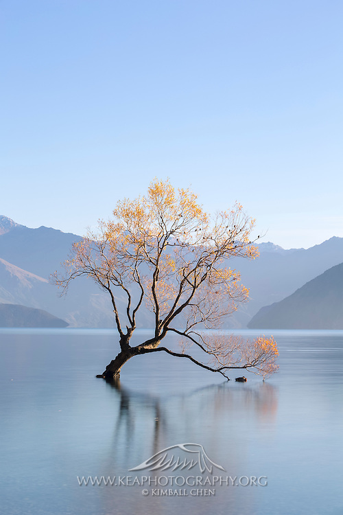 Golden Willow Tree and blue skies at Lake Wakatipu