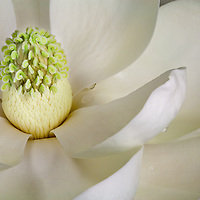 Young Magnolia flower image with close up of the stamen and carpels with water drops on the petals.