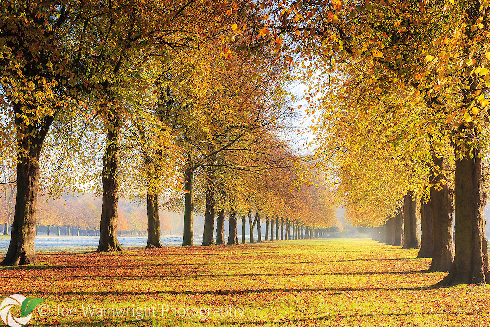 Brilliant golden foliage on the lime avenue at Marbury Country Park, Northwich, Cheshire - on a frosty November day.