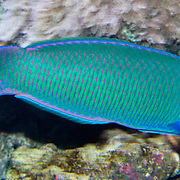 The Crescent Wrasse (Thalassoma lunare) or Moon Wrasse is a bright blue and green fish with pink and yellow features, found in the Pacific Coral Reefs. Seattle Aquarium, Washington, USA.