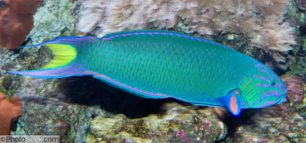crescent wrasse (thalassoma lunare) / moon wrasse, blue green fish, Reel Combo