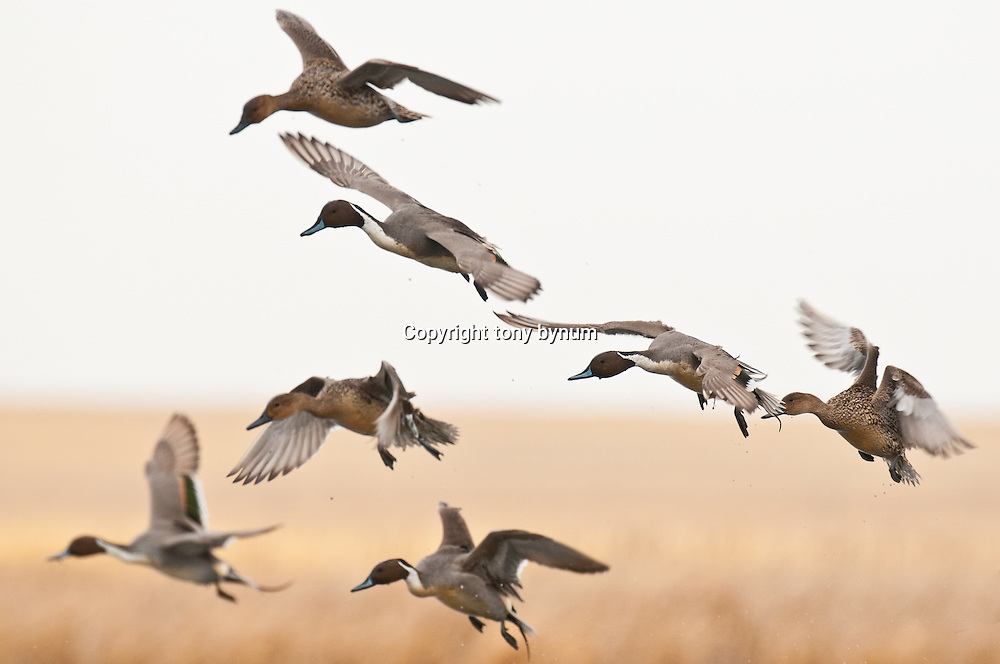 many nothern pintail ducks landing with wetland vegetation background