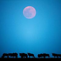 Africa, Kenya, Masai Mara Game Reserve, Herd of Wildebeest (Connochaetes taurinus)beneath rising full moon on savanna during Serengeti Migration