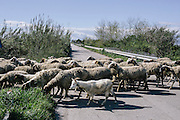 A herd of sheep cross a rural road in Southern Italy. In 2008, local health authorities testing samples of buffalo milk from farms just north of Naples found high levels of cancer causing dioxins, as farmers realized they could be unwittingly feeding their animals  contaminated food grown above buried toxic waste.