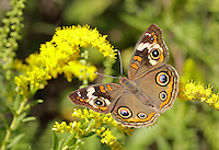 A Buckeye butterfly rested on some goldenrod during a butterfly identification hike at Raven Run Nature Sanctuary in Lexington, Ky. on Sunday, September 9, 12. About 30 participants heard a brief lecture by naturalist Brian Perry before taking a short hike through the meadow to spot and identify butterflies and moths. Photo by David Stephenson