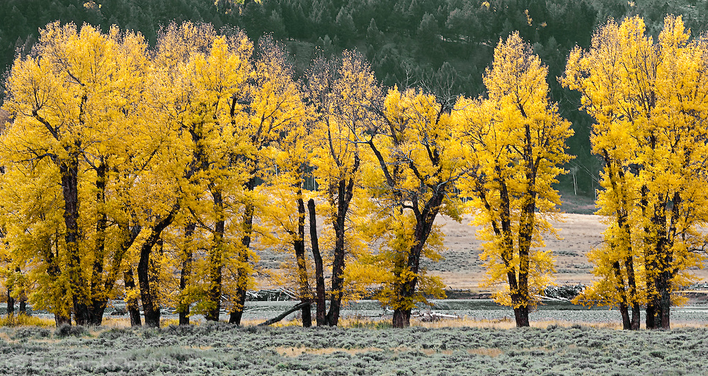 Black Cottonwood (Populus deltoides) trees with autumn yellow leaves in a row along the Lamar River in northern Yellowstone National Park, Wyoming, USA.